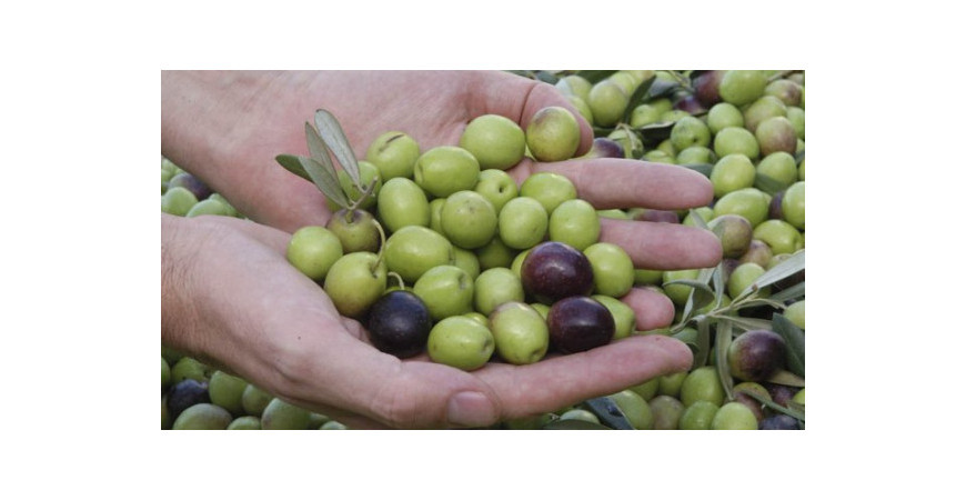 5 claves para tu cosecha de aceituna